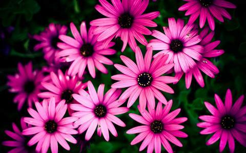 粉红色的雏菊