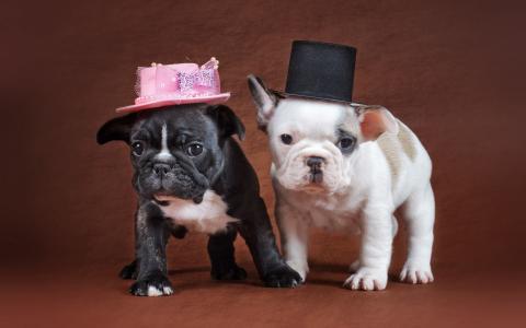 牛头犬与小猫的小狗