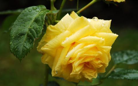 盛开的玫瑰