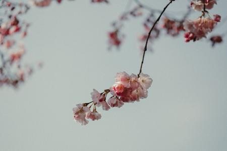 美丽的樱花