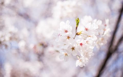 樱花绽放世界