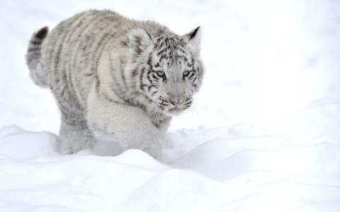 在雪中的白色老虎