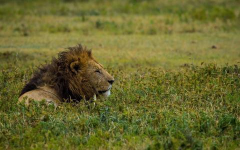 坐在草地上的狮子