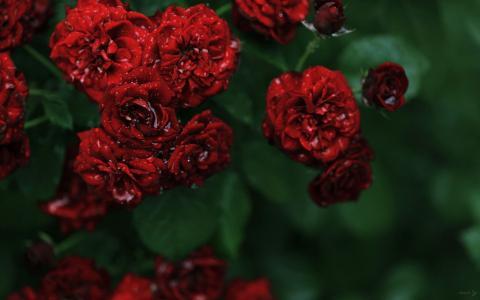 清晨的露珠上的红玫瑰