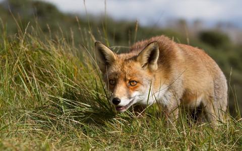 在草地上谨慎的狐狸