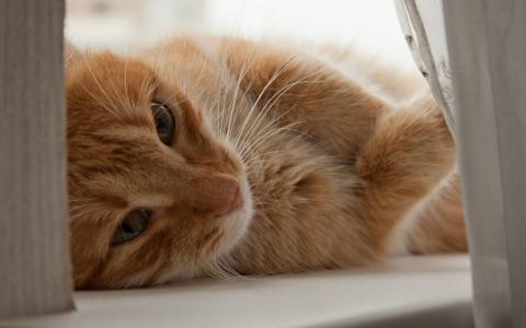 橙色的小猫