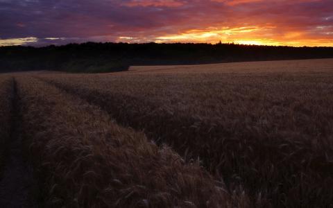 在麦田上方的粉红色天空