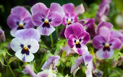 紫色的紫罗兰