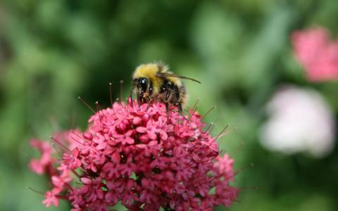 蜜蜂在粉红色的花朵上