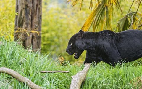 黑豹在草丛中