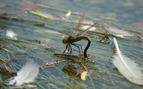 在羽毛上的蜻蜓