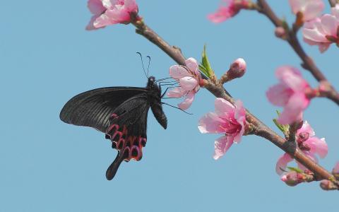 黑色的蝴蝶