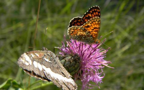 紫色的花朵上的蝴蝶