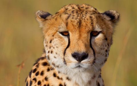 可爱的猎豹