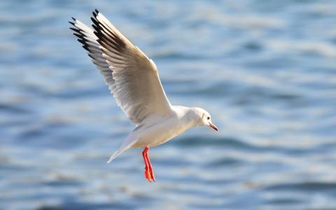 飞行的海鸥