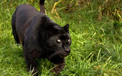 黑豹在草地上