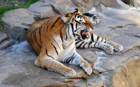 愤怒的老虎