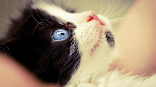 小猫和蓝色的眼睛