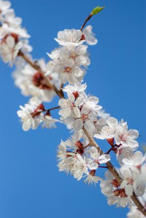 美丽的山桃花