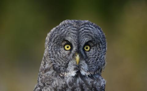 可爱的灰色猫头鹰