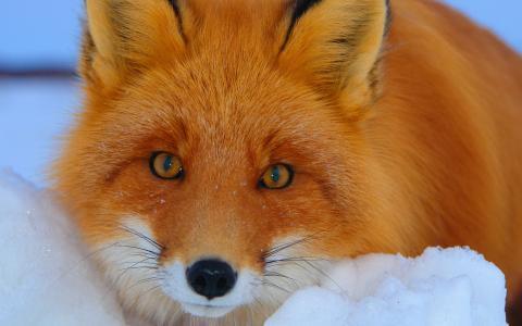 狐狸在雪地里