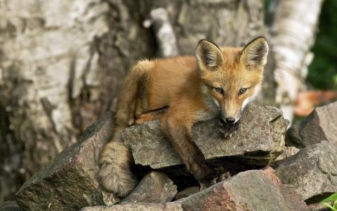 保持的狐狸