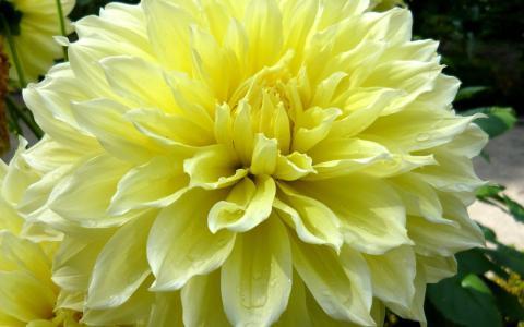 黄色大丽花