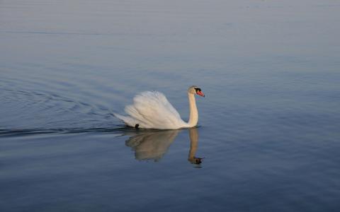 天鹅在湖上