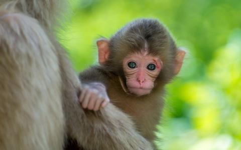 可爱的猴子婴儿