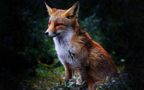 可爱的狐狸