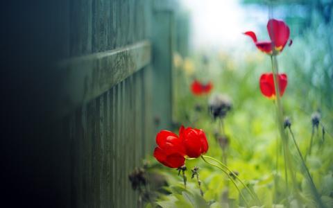 红色的郁金香