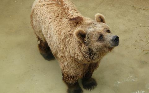棕熊在水中