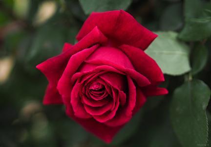 艳丽动人的玫瑰花