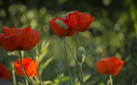 鲜艳唯美小清新的罂粟花
