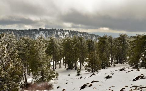 绿树在多雪的森林里