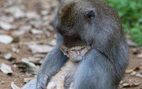 拥抱小猫的猴子
