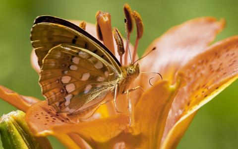 布朗在花上的蝴蝶