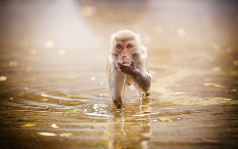 猴子饮用水