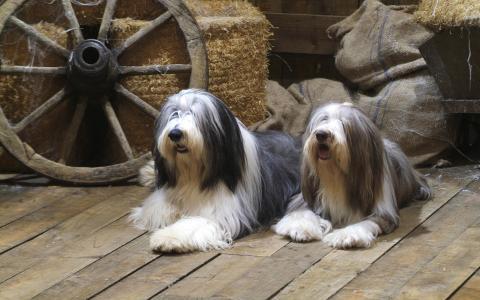 老英国牧羊犬