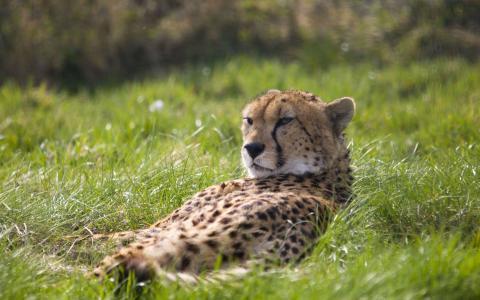 懒惰的猎豹