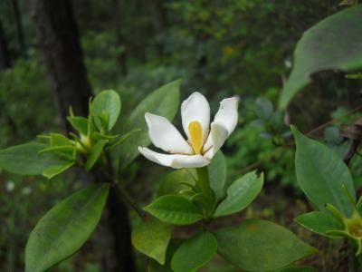 盛开的栀子花
