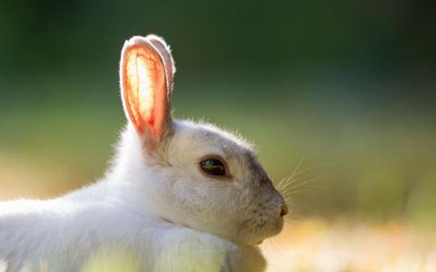 蓬松的白色兔子