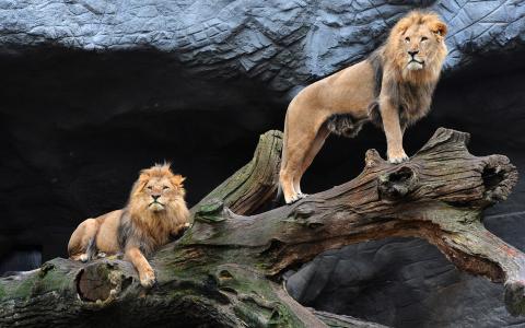 灿烂的狮子