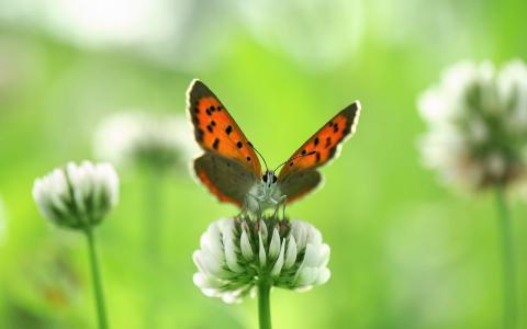 橙色的蝴蝶