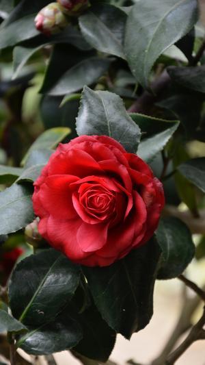 芬芳鲜艳的山茶花