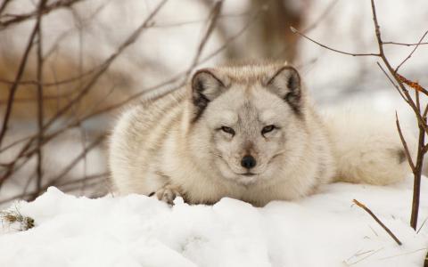 可爱的狐狸在雪地里