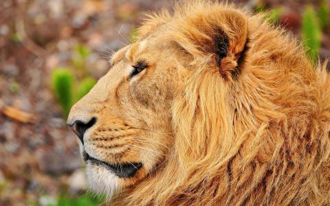 美丽的狮子