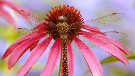 在粉红色的花上的蜻蜓