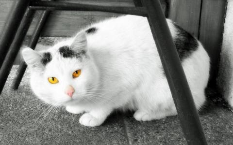 美丽的白色猫咪,橙色的眼睛