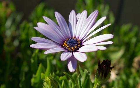 紫色Osteospermum